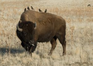 European Starlings and a Bison with its tongue stuck out