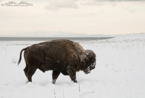 Bison bull, White Rock Bay