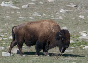 Bison bull just starting to shed its winter coat