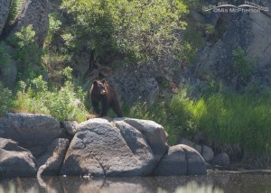 American Black Bear along the Big Hole River