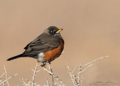 Winter American Robin