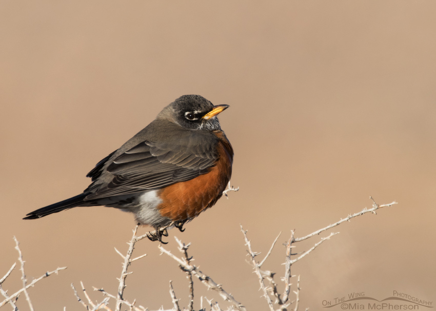 Winter American Robin