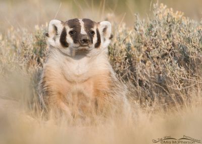 American Badger in Beaverhead County