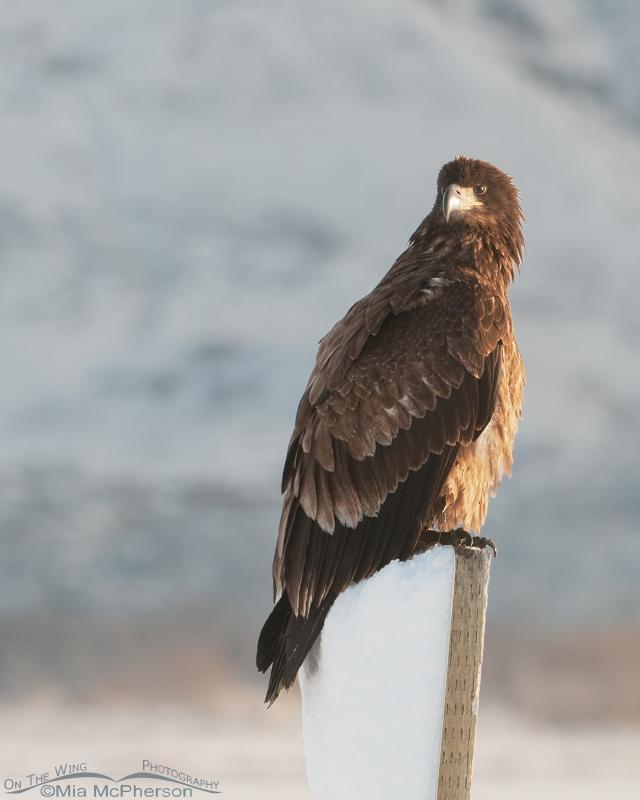 Perched juvenile Bald Eagle