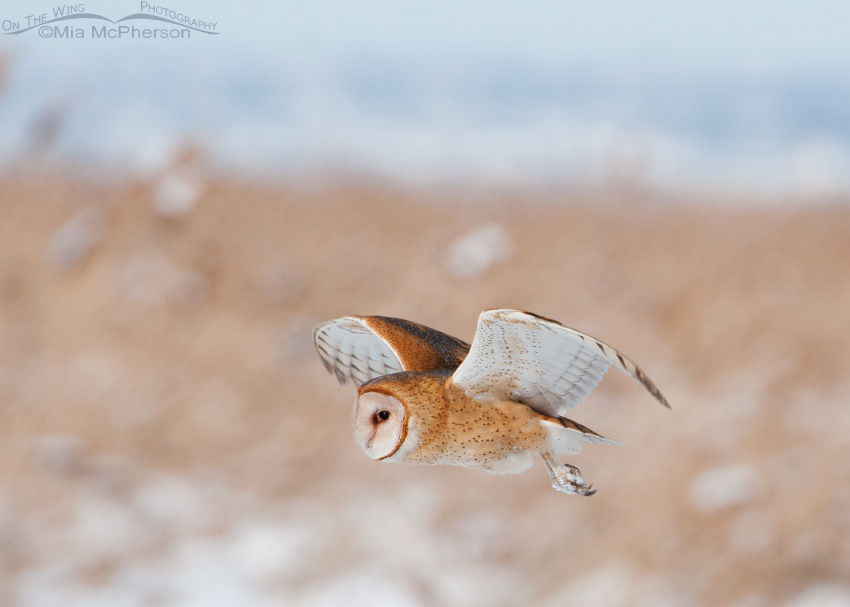 Barn Owl on the wing