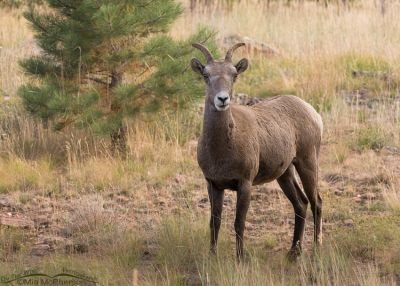 Alert Bighorn Sheep Ewe