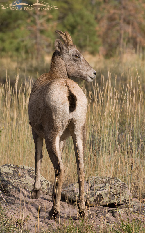 Back view of a Bighorn Sheep ewe