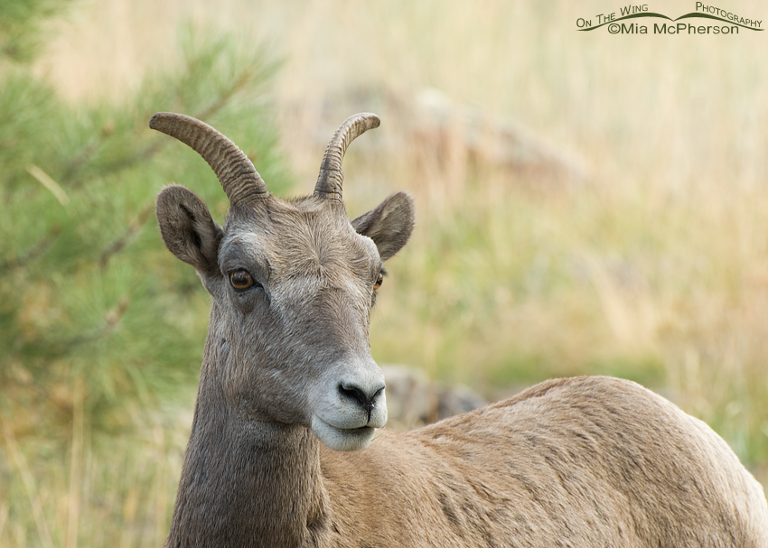 Bighorn Sheep ewe at Flaming Gorge