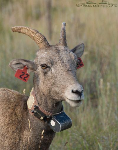 Tagged and radio-collared Bighorn Ewe