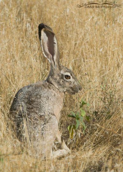 Black-tailed Jackrabbit in grasses