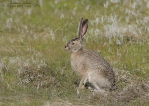 Black-tailed Jackrabbit #5