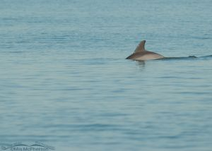 Bottlenose Dolphin in the Gulf of Mexico