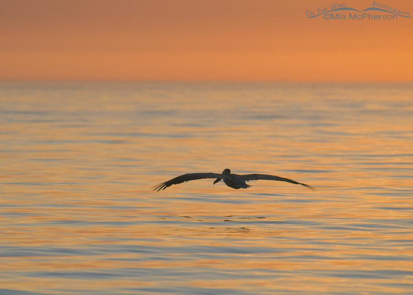 Brown Pelican flying into the sunset