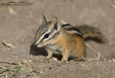 A Yellow-pine Chipmunk near Cliff Lake, Montana