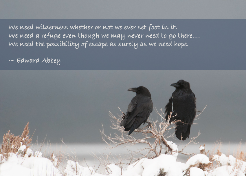 Common Ravens in a storm