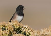 Pale male Dark-eyed Junco, Oregon race