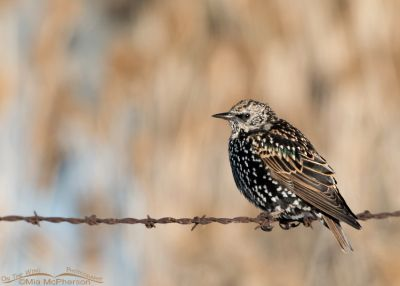 European Starling on rusty barbed wire