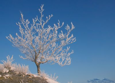A hoar frost covered tree at Farmington Bay