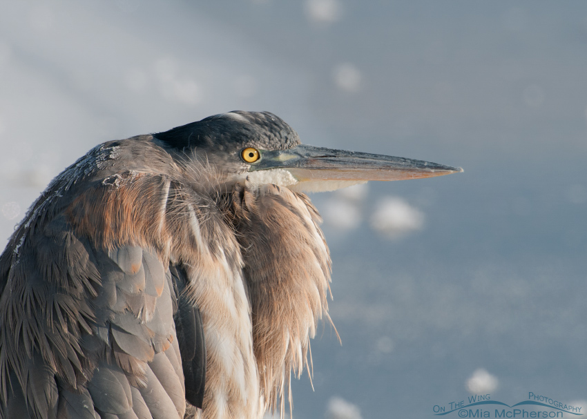 A Great Blue Heron hunkered down against winter's brutal cold