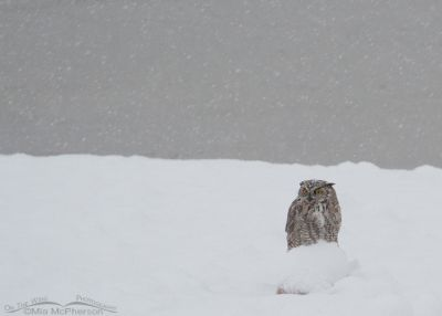 Great Horned Owl in a snow storm