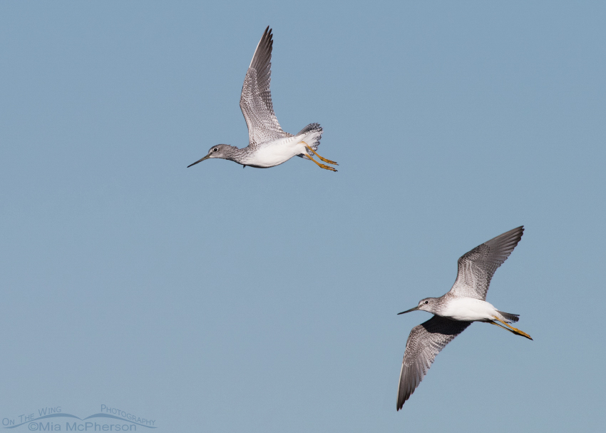 A pair of Greater Yellowlegs in flight