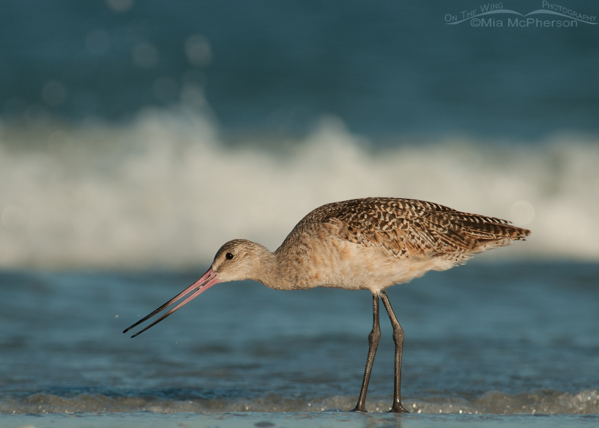 Marbled Godwit and the Gulf of Mexico