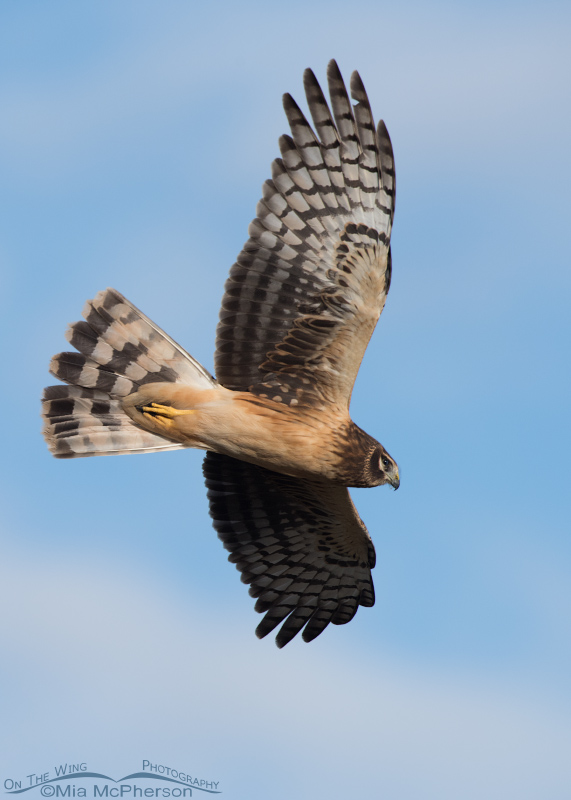 Juvenile Northern Harrier in flight