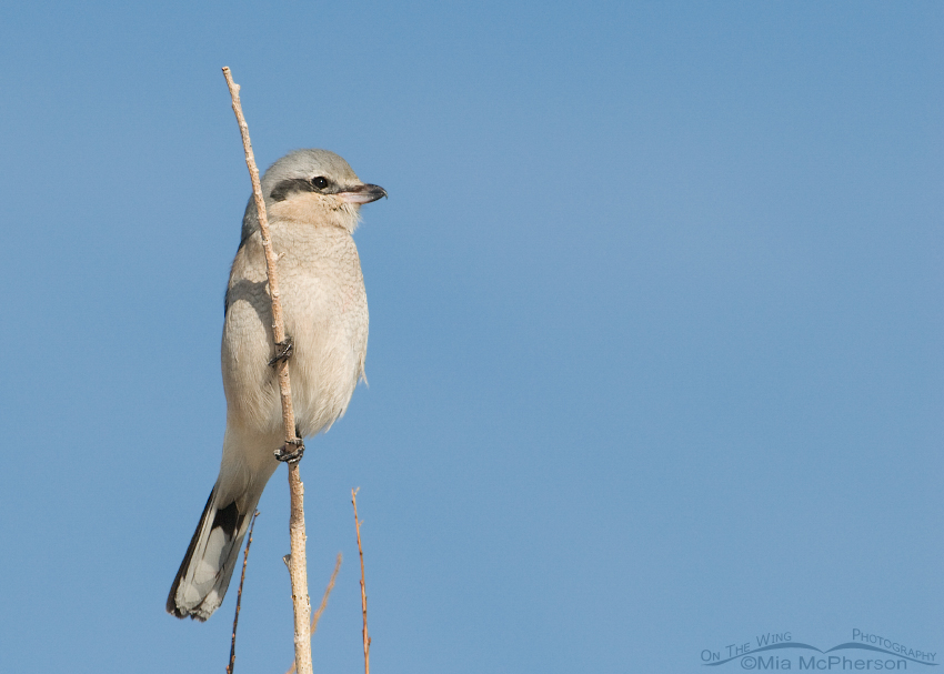 Immature Northern Shrike at Farmington Bay WMA