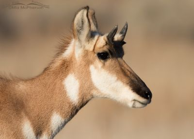 Pronghorn yearling portrait