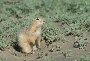 Richardson's Ground Squirrel standing