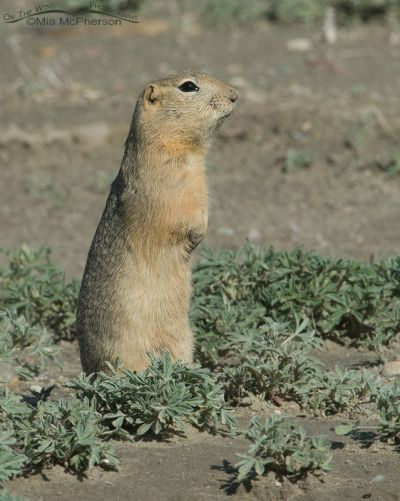 "Upright ""Gopher"""