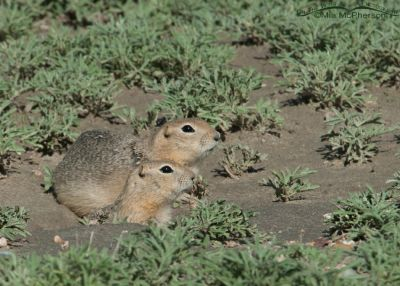 Pair of Richardson's Ground Squirrels