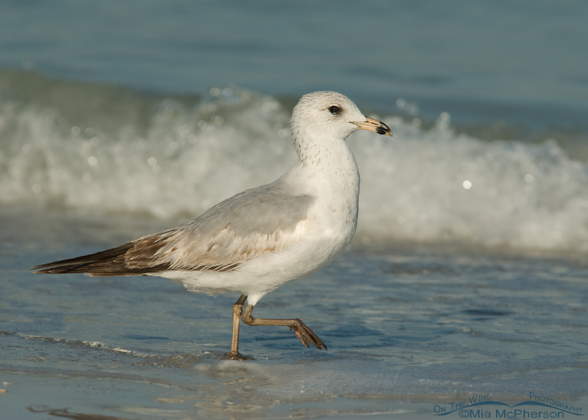 First summer Ring-billed Gull