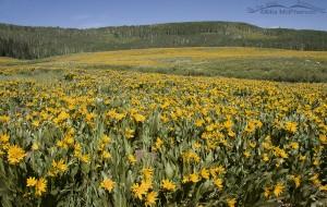 A carpet of gold, Mule's Ears - Soapstone Basin, Utah