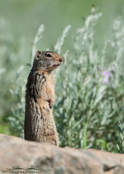Uinta Ground Squirrel in the Uintas