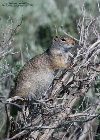 Alaska Basin Uinta Ground Squirrel