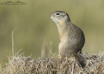 Sitting Uinta Ground Squirrel