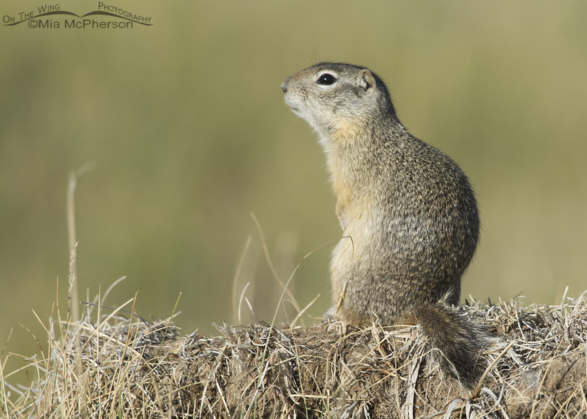 Sitting Uinta Ground Squirrel