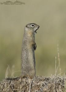 Standing Uinta Ground Squirrel
