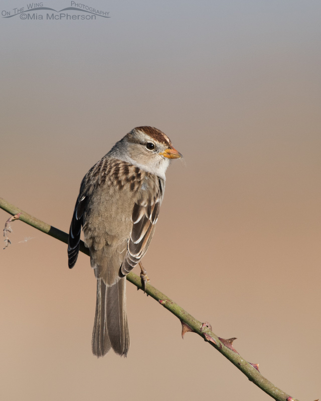 An over the shoulder look from a juvenile White-crowned Sparrow