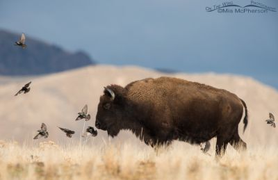European Starlings and a Bison bull
