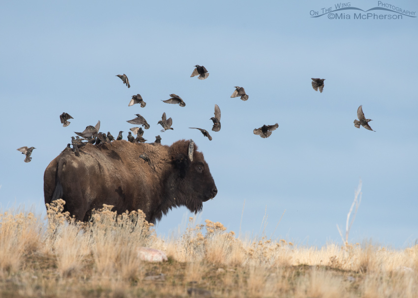 Bison and Birds on a hill