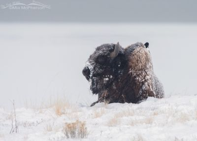 Resting snow-covered Bison bull