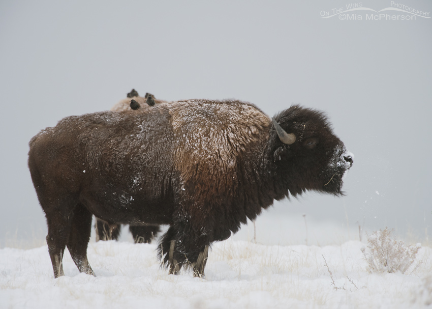 Bison bull and starling in falling snow