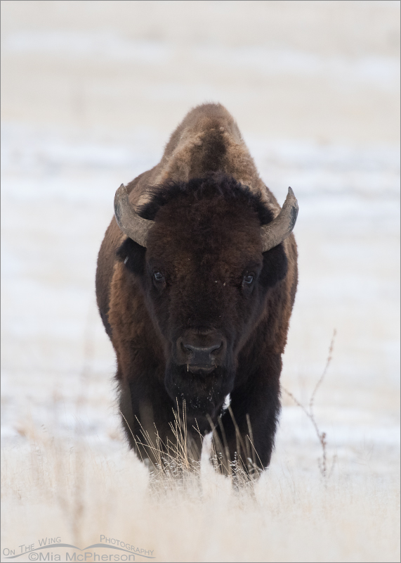 An American Bison head on in the snow