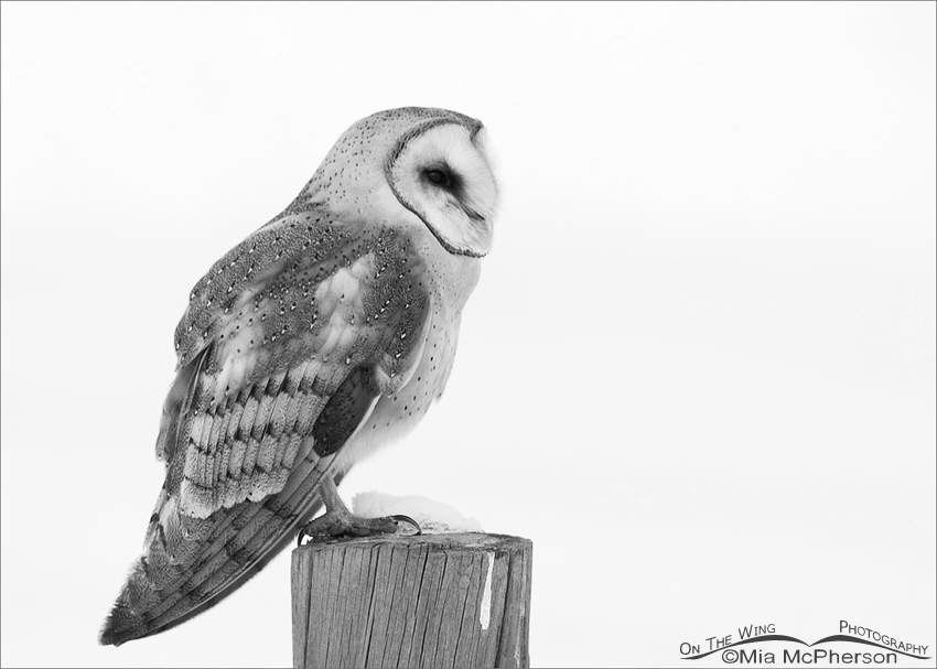 Perched Barn Owl - Black and White