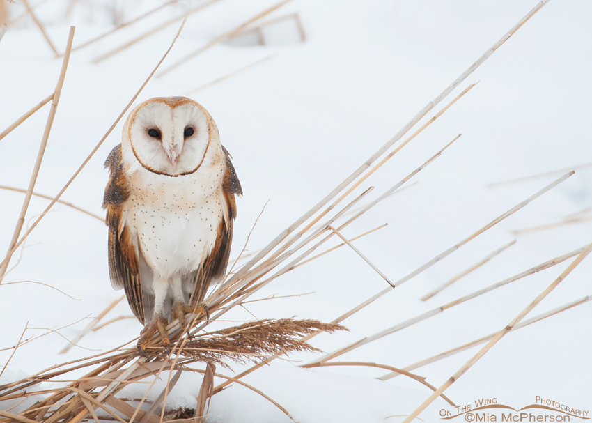 Winter Barn Owl on a gray day