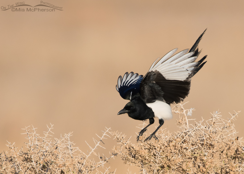 Black-billed Magpie two point landing
