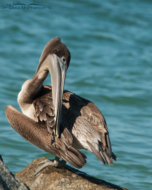 Preening juvenile Brown Pelican in Florida