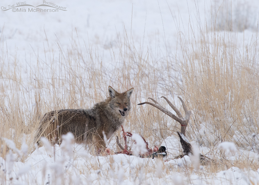 Coyote at a Mule Deer carcass